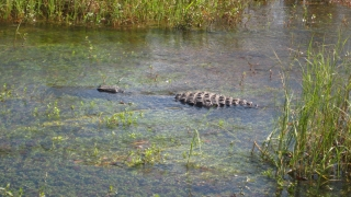 Grosses Krokodil in den Everglades