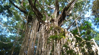 Die beruehmte Curtain Fig in Yungaburra